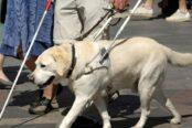 perro-guia-gaspar-adiestrador-canino-e1521742015484-174x116.jpg