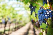 purple-grapes-553463-1280_11_1000x528-174x116.jpeg