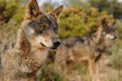 el-gobierno-mantiene-su-voluntad-de-prohibir-definitivamente-la-caza-del-lobo-en-espana-como-muy-tarde-en-8-dias-174x116.jpeg
