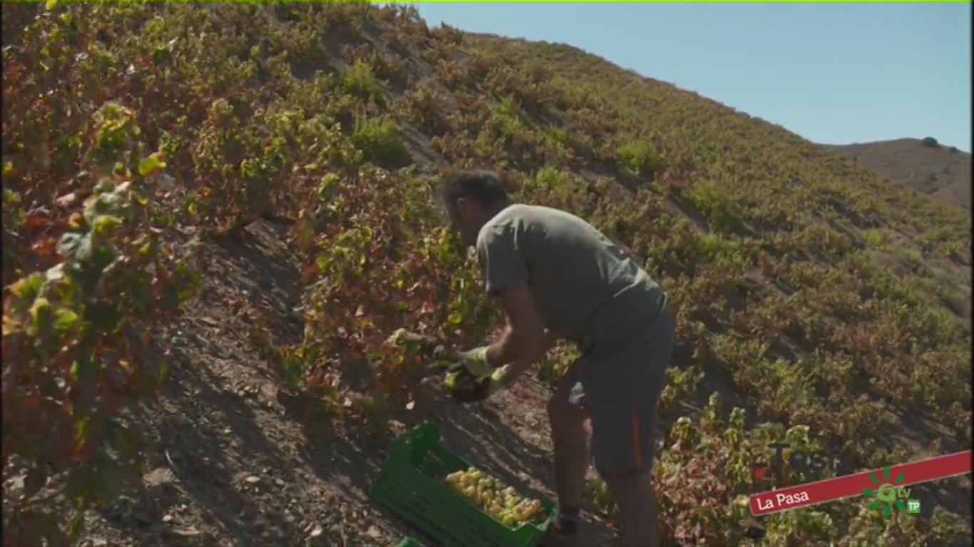 La producción de Pasas de Málaga cae esta campaña un 40% debido a la sequía