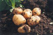 patata-nueva-andaluza-174x116.jpg